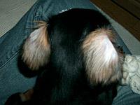 黒いボディに白い耳