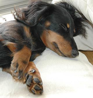 散歩の後眠るココア
